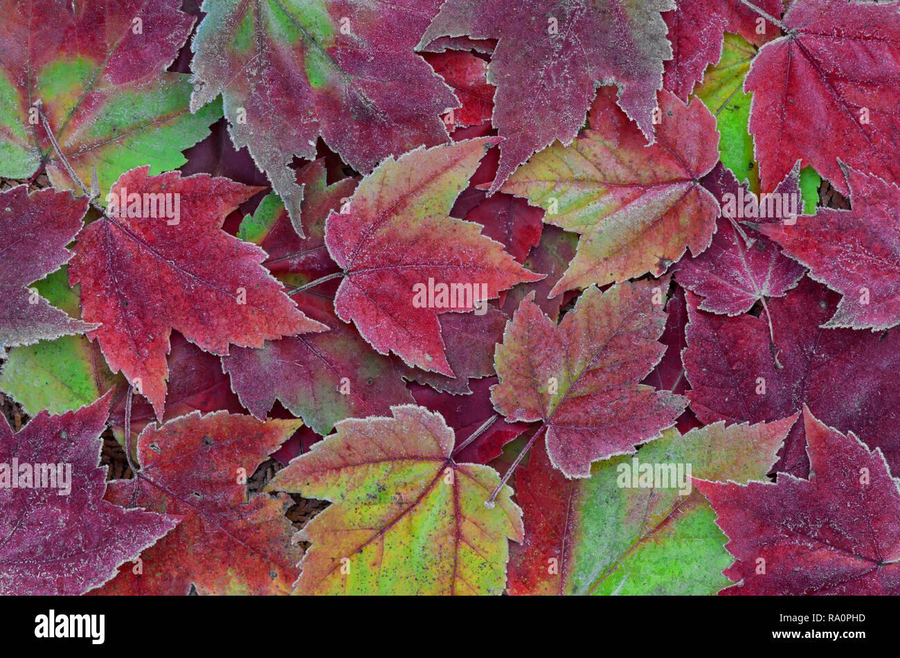 Feuilles d'érable givré, forêt, Automne, E USA, par aller Moody/Dembinsky Assoc Photo Banque D'Images