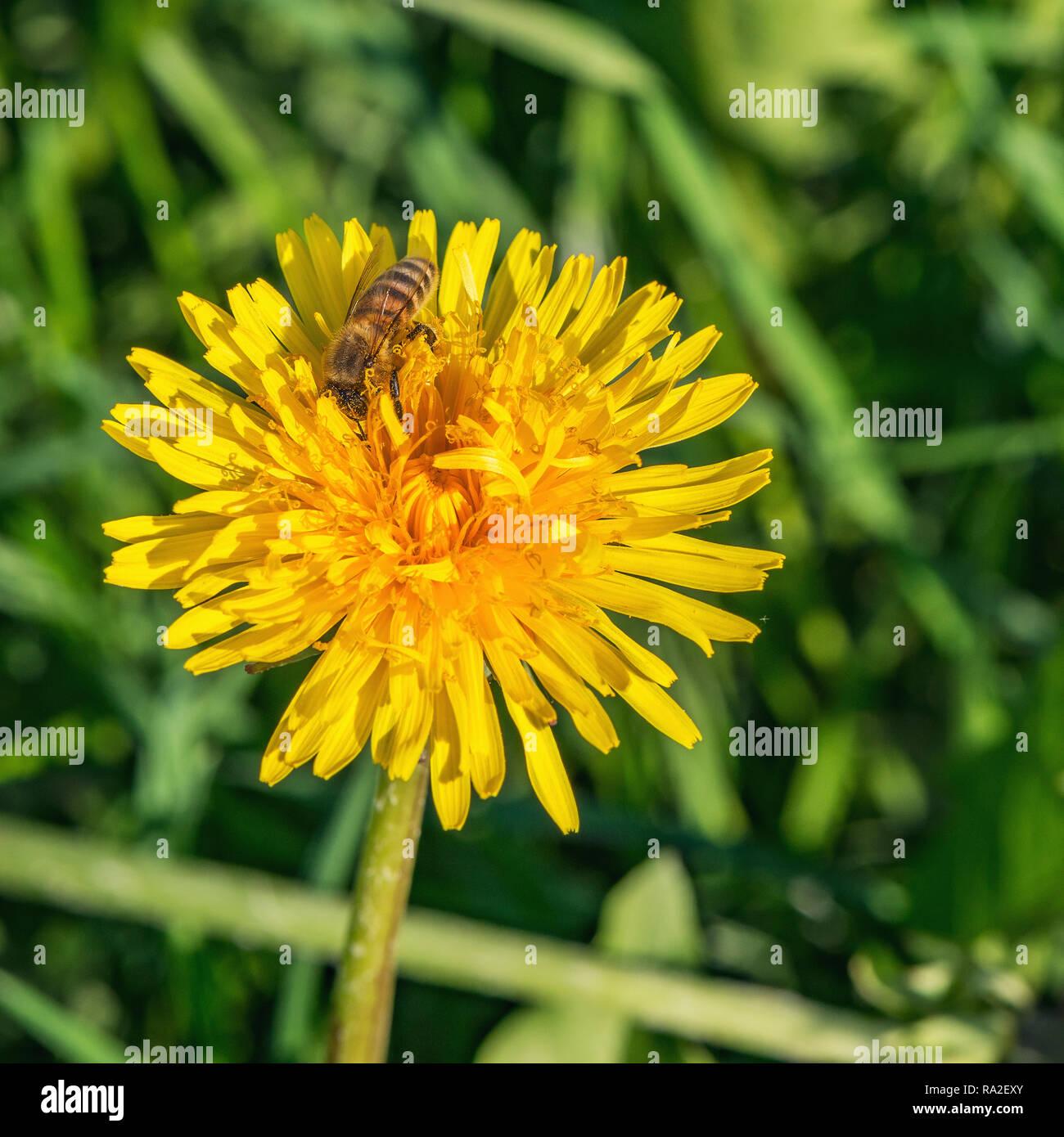 Abeille sur la fleur de pissenlit en journée ensoleillée. Banque D'Images