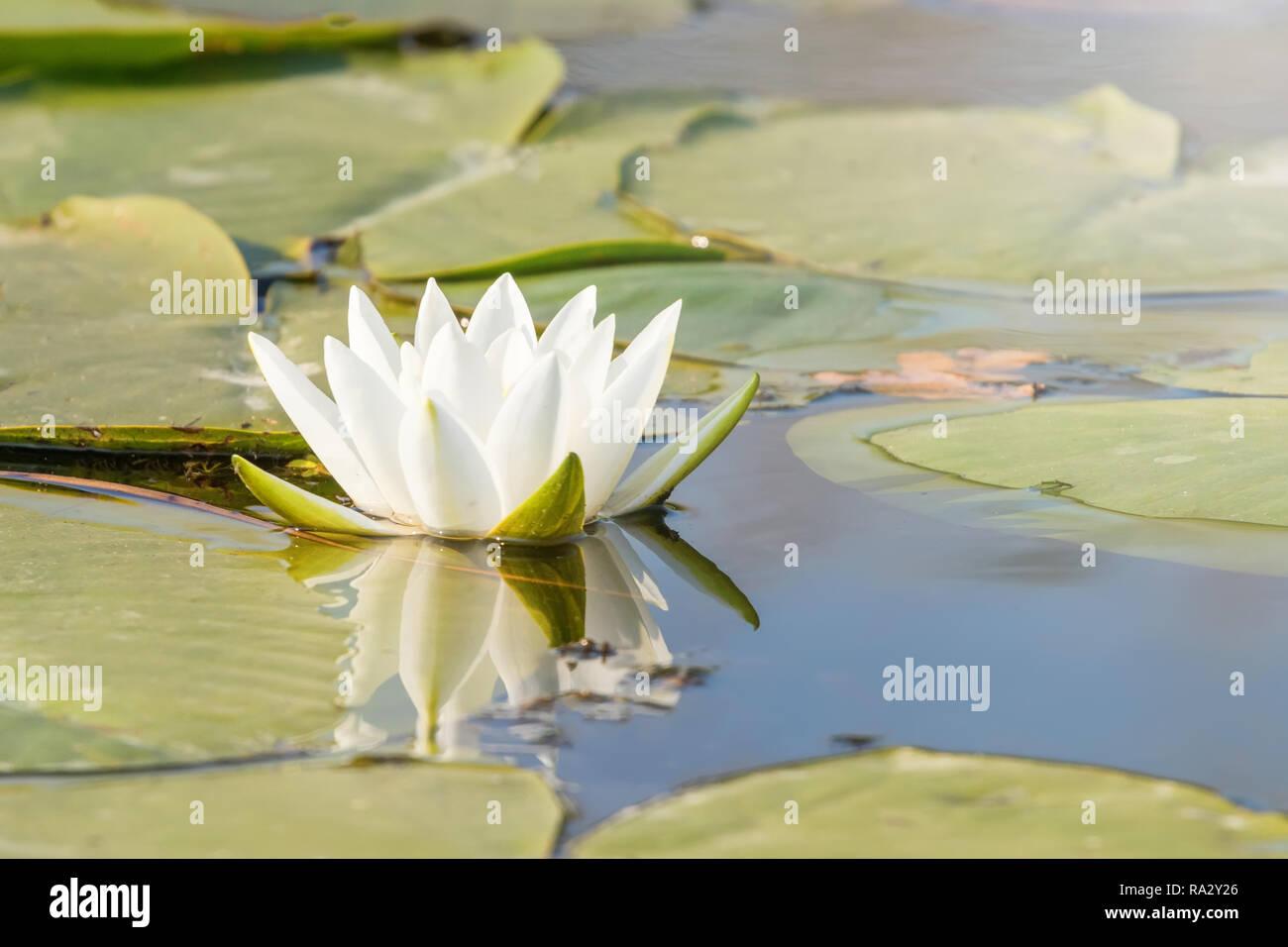 n nuphar blanc sur la surface de l 39 eau water lily reflet. Black Bedroom Furniture Sets. Home Design Ideas