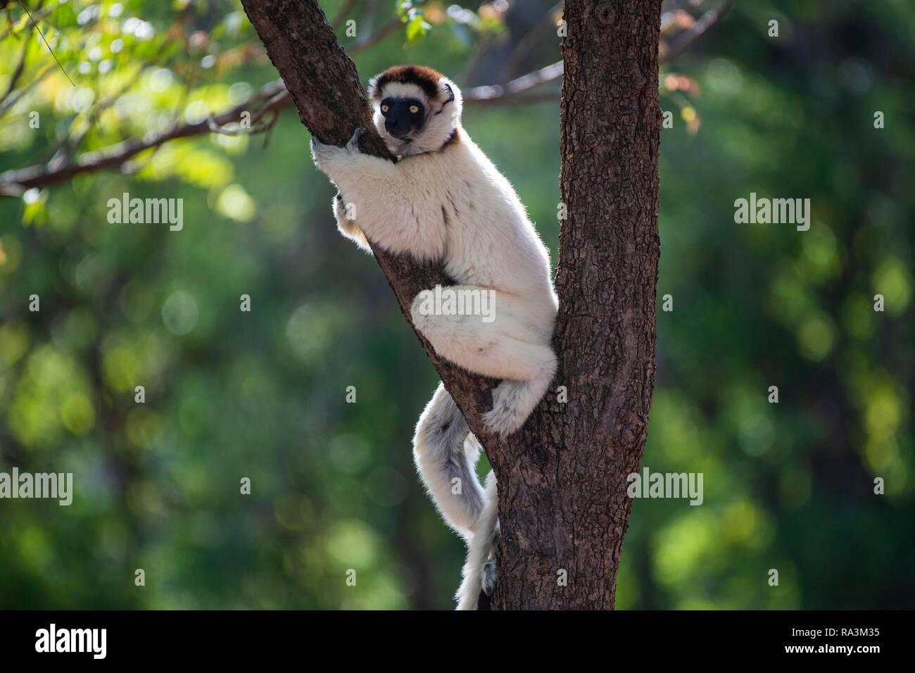 Le propithèque de verreaux (Propithecus verreauxi) se trouve dans la fourche de l'arbre en direction de la réserve naturelle de Berenty, l'Androy, salon, Madagascar Photo Stock