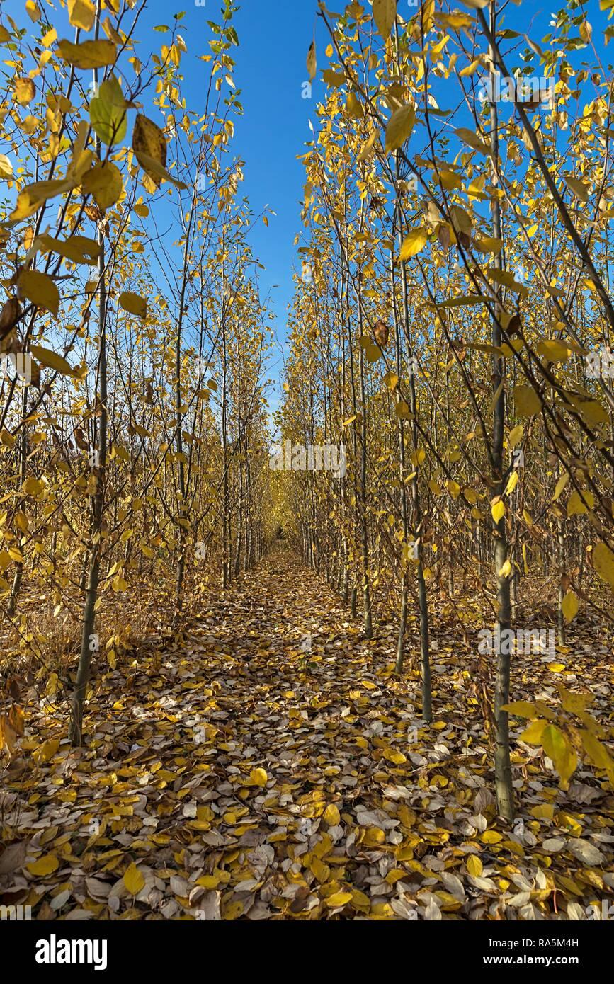 Pépinière, plantation à courte rotation, plantation de peupliers (Populus) à l'automne feuillage, Franconia, Bavaria, Germany Banque D'Images