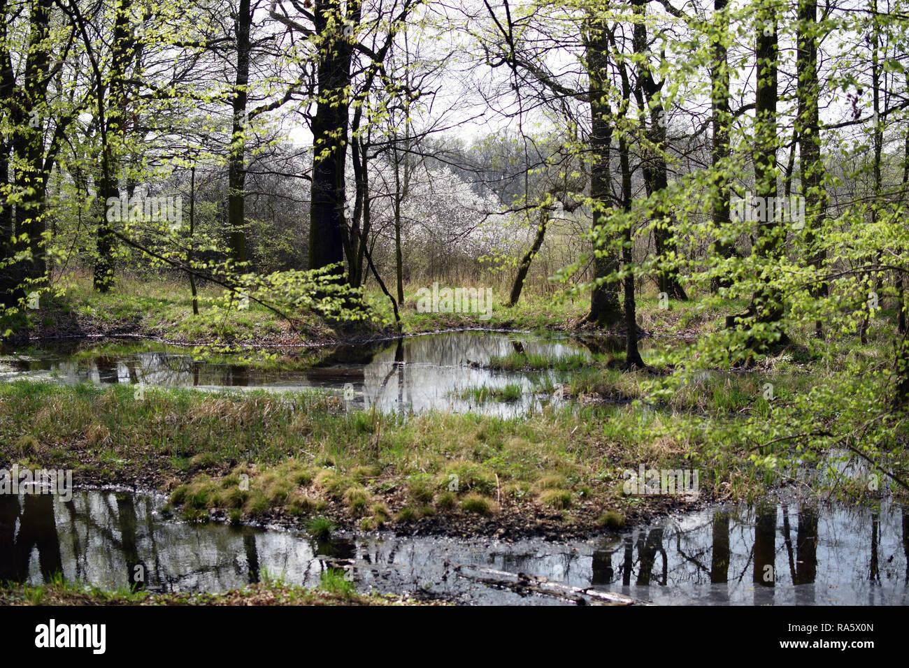 Forrest Green swamp scène. Printemps dans la forêt de la Pologne. Photo Stock