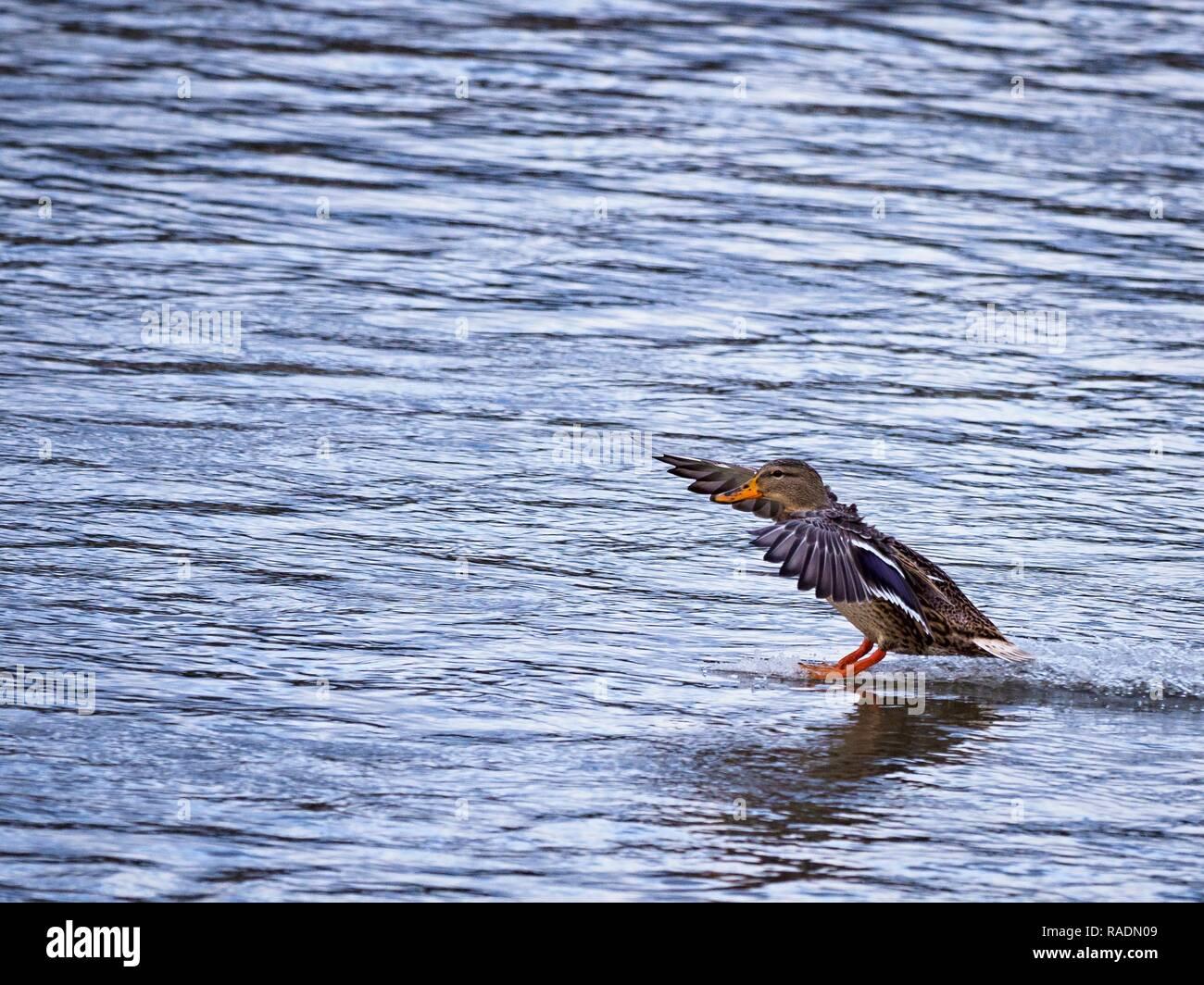 Poule de canards sauvages terres avec jambes étirées sur la surface de la rivière Berounka. (CTK Photo/Krompolc romain) Banque D'Images