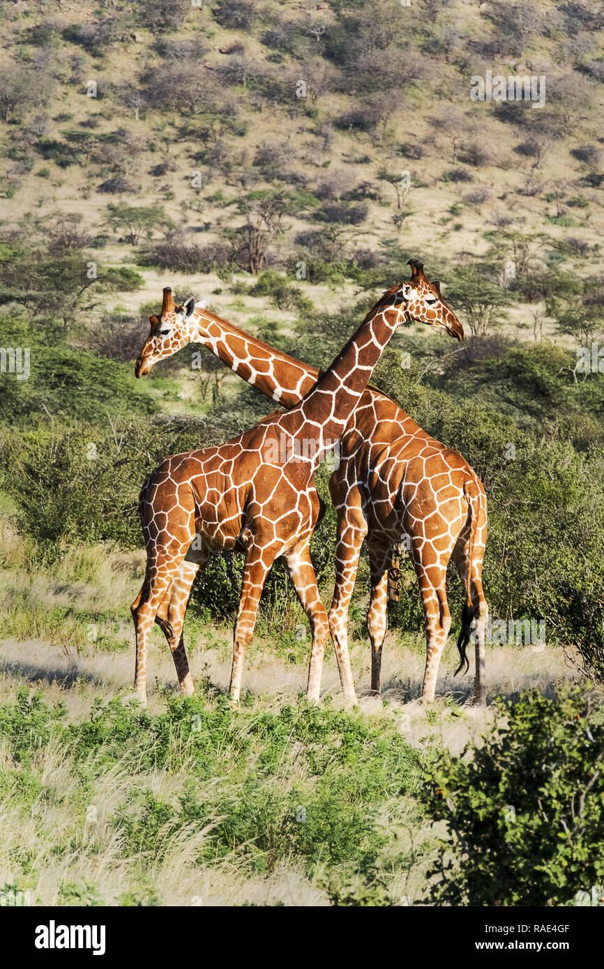 Deux girafes réticulée, striction Réserve nationale de Samburu, Kenya, Afrique de l'Est, l'Afrique Banque D'Images