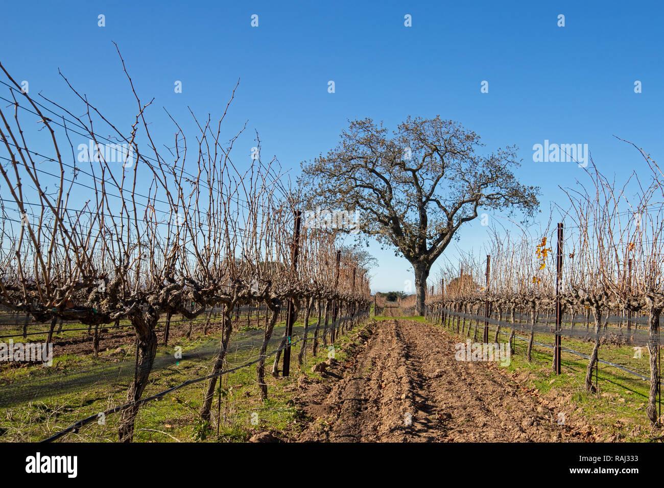 Californie Lone Oak tree en hiver dans le centre de la Californie vignoble  près de Santa a2f418b09cab