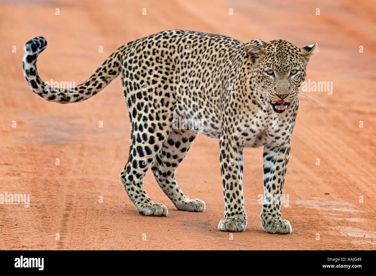 Leopard (Panthera pardus) est sur la piste de sable et lèche sa bouche, le parc national de Tsavo Ouest, au Kenya Banque D'Images