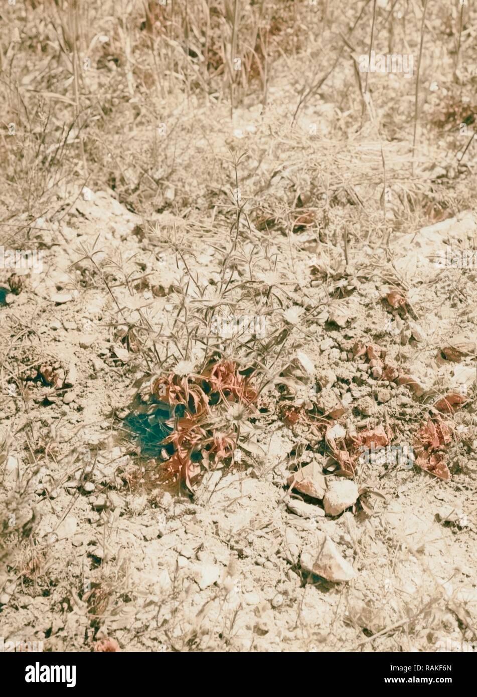 Fleurs sauvages de la Palestine. Pallenis (P. spinosa (L.) Cass.) 1900. Repensé par Gibon. L'art classique avec un style moderne repensé Photo Stock