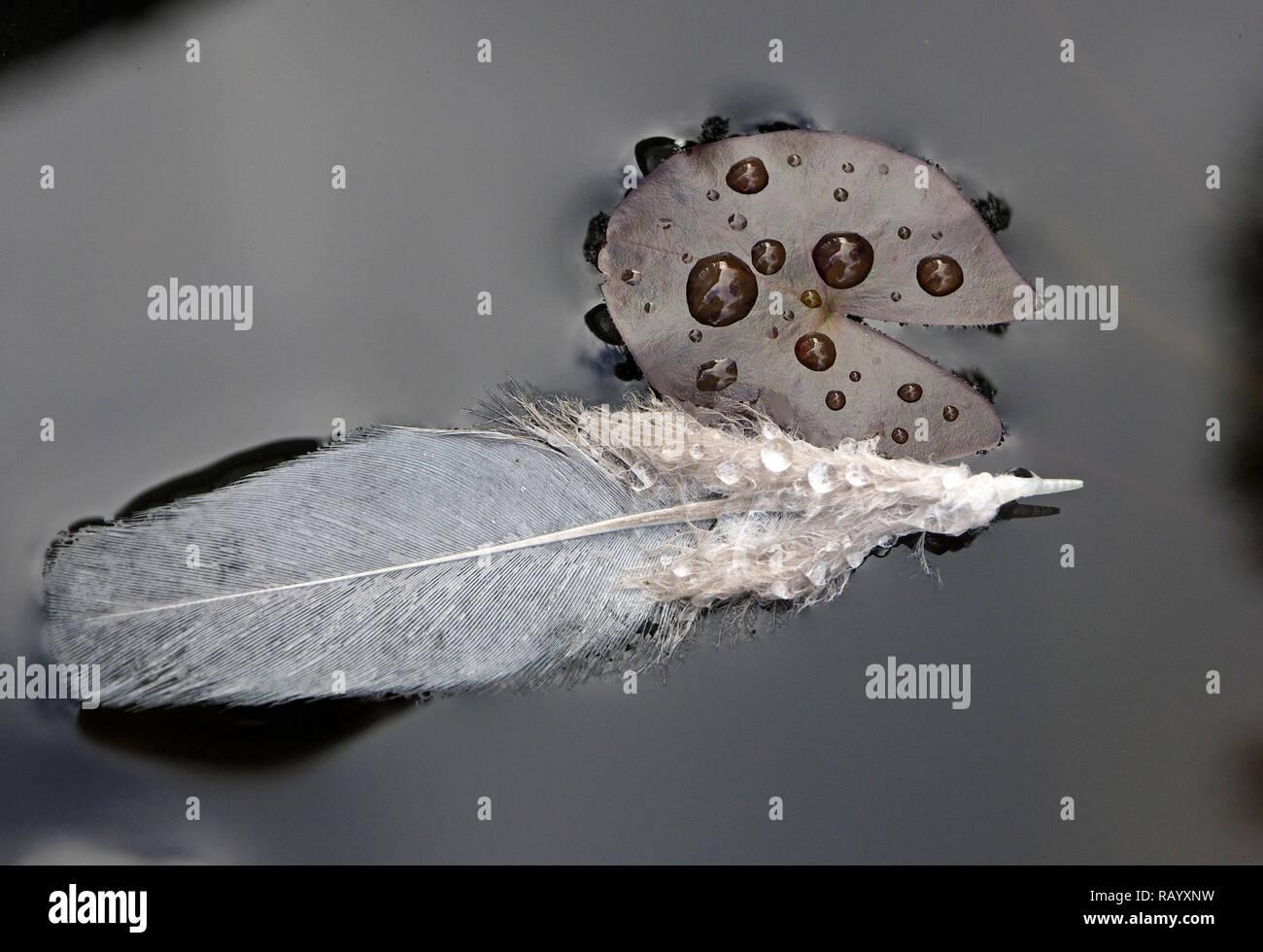 Image monochrome de plumes gris flottant sur surface de lilypond avec les gouttelettes d'eau sur la surface d'un nénuphar miniature Cumbria, Angleterre, Royaume-Uni Photo Stock