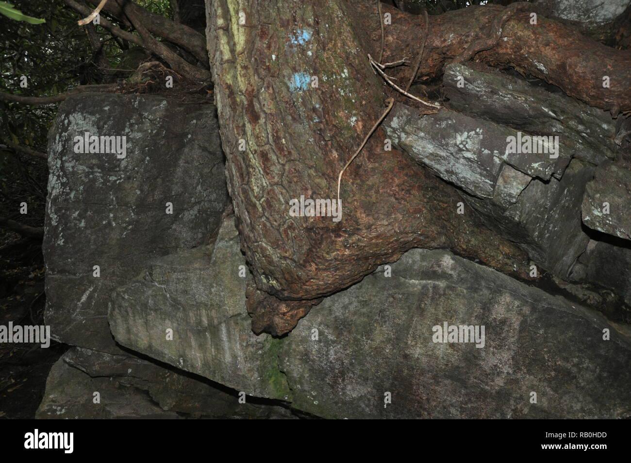 Sentier de randonnée des chutes d'Linwood. Arbre qui grandit dans la roche La vie semble trouver là. Incroyable! Banque D'Images