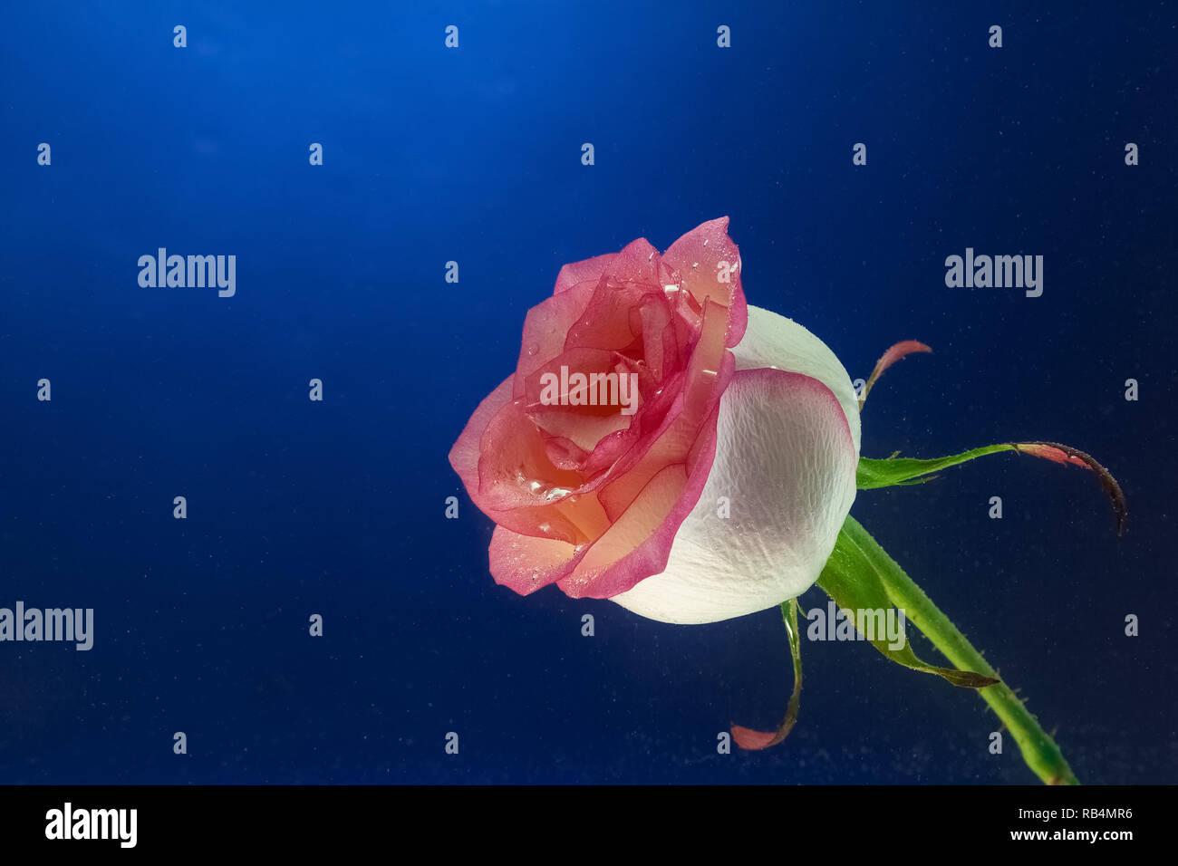 Close Up D Une Nouvelle Rose Rose Couvert De Gouttelettes D Eau Sur