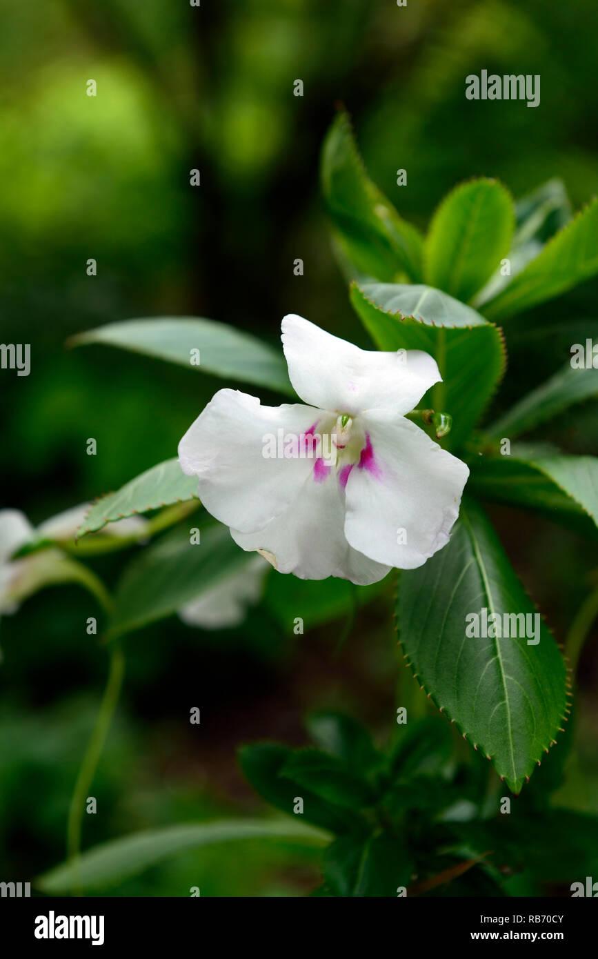 Impatiens Ugandense Fleur Rose Blanc Fleurs Feuilles Offres Rm