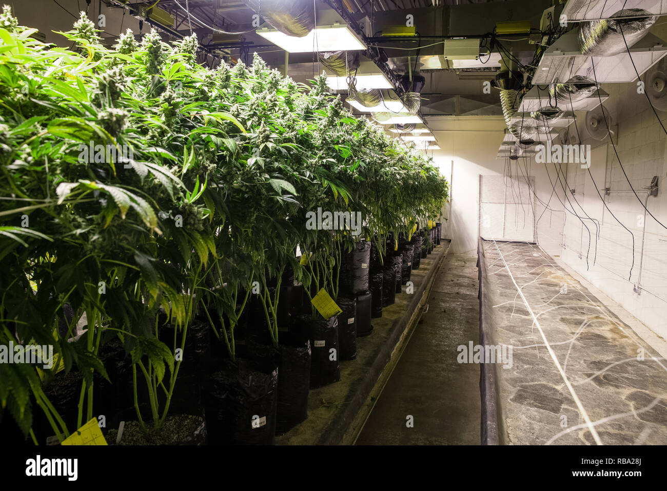 Chambre de culture de marijuana cannabis légal série - La culture de ...