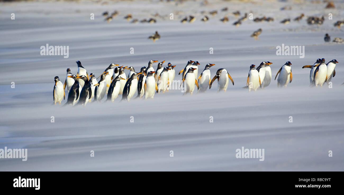 Une ligne de manchots papous (Pygoscelis papua) marche sur la plage, l'île de Sea Lion, Îles Falkland, Photo Stock