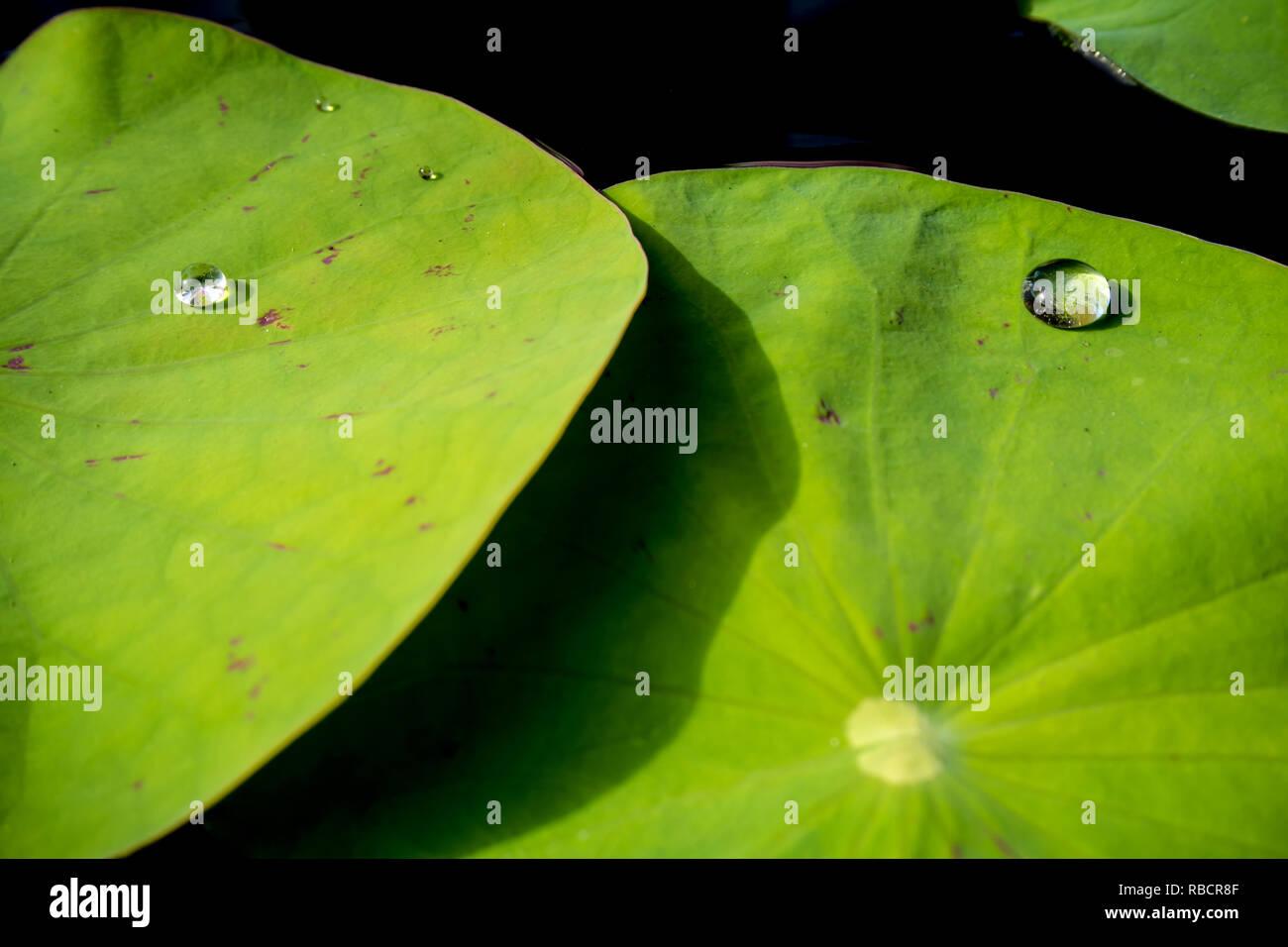 Rosée sur feuille de lotus d'eau Banque D'Images