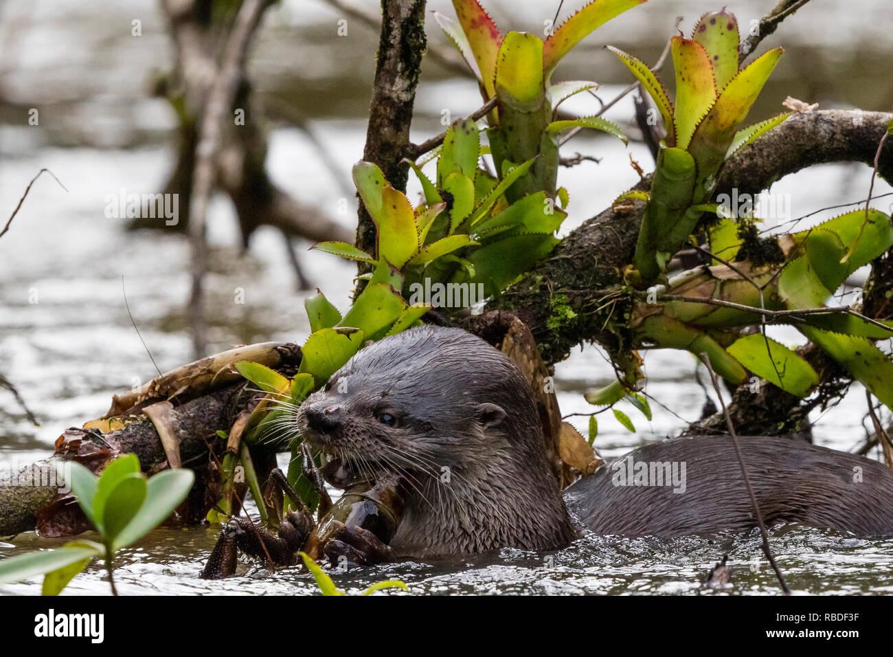La loutre néotropicale, Parc National de Tortuguero, Costa Rica Banque D'Images