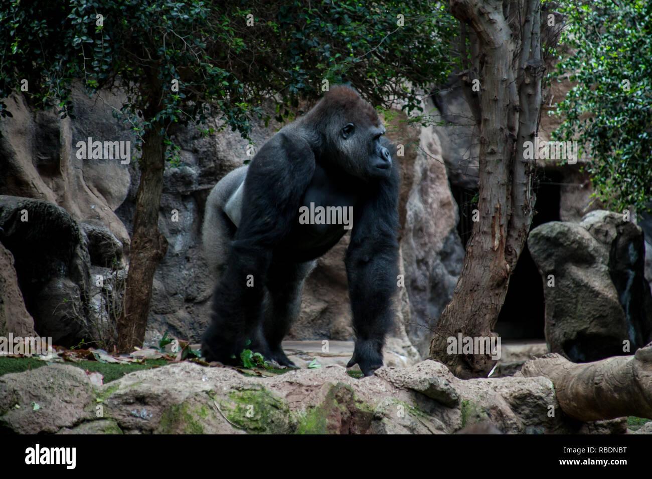 Une belle photo d'un dos argenté adultes gorille de plaine de l'Ouest à la recherche autour de Photo Stock