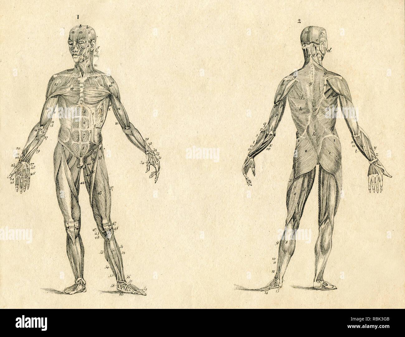 Anatomie du muscle humain dessin illustration gravée vintage Photo Stock
