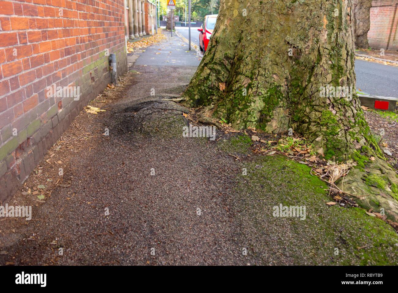 Les racines des arbres causant des dommages à l'arbre d'empiéter sur la chaussée - pavé de Cambridge, Royaume-Uni Photo Stock