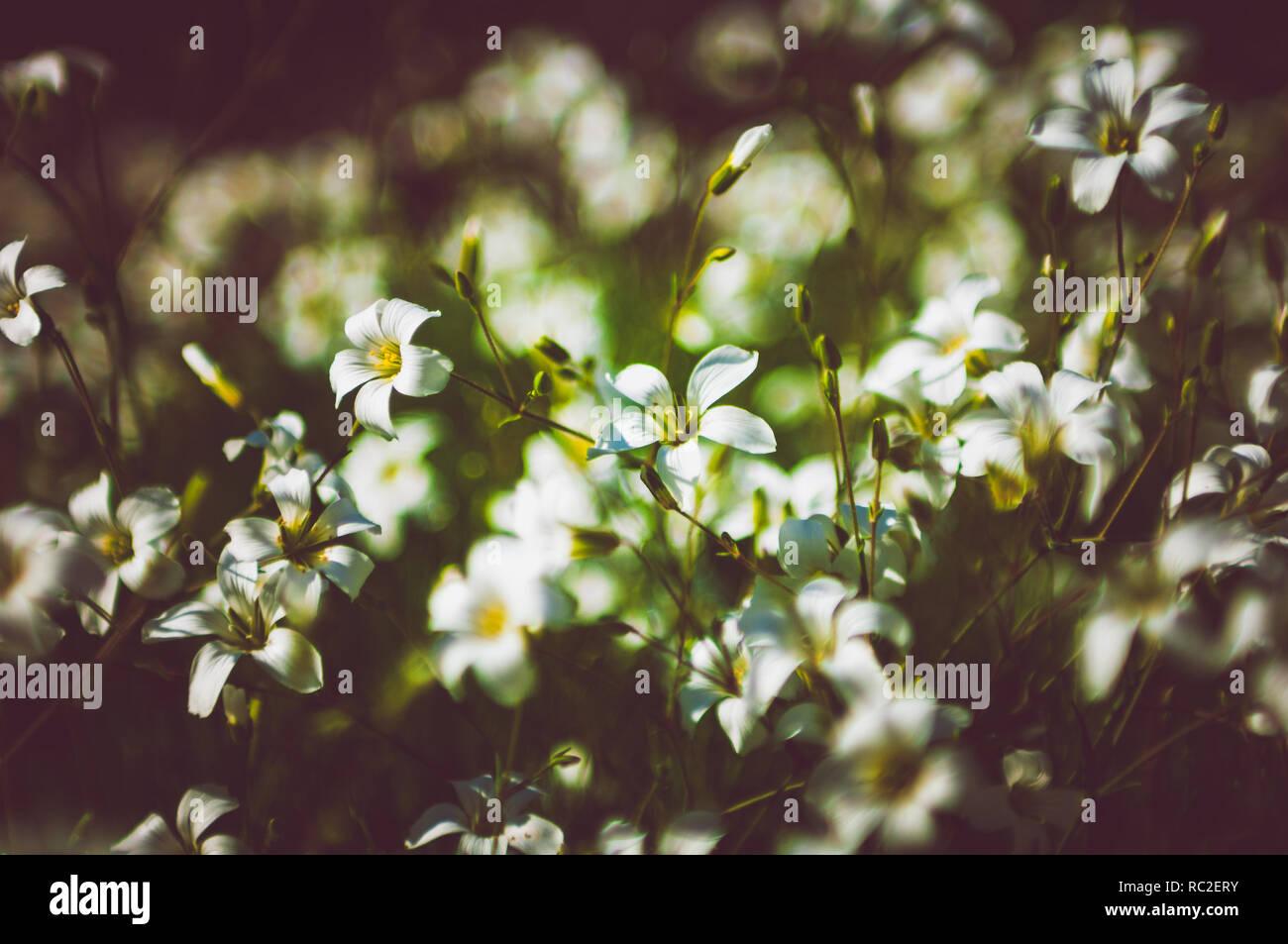 Petales De Fleurs Sauvages 5 Blanc Avec Un Centre Jaune Banque D