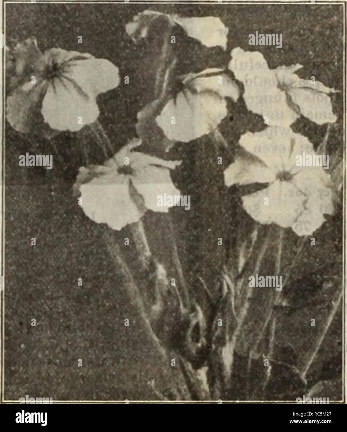 20 graines Fleur-rose trémière chater Scarlet