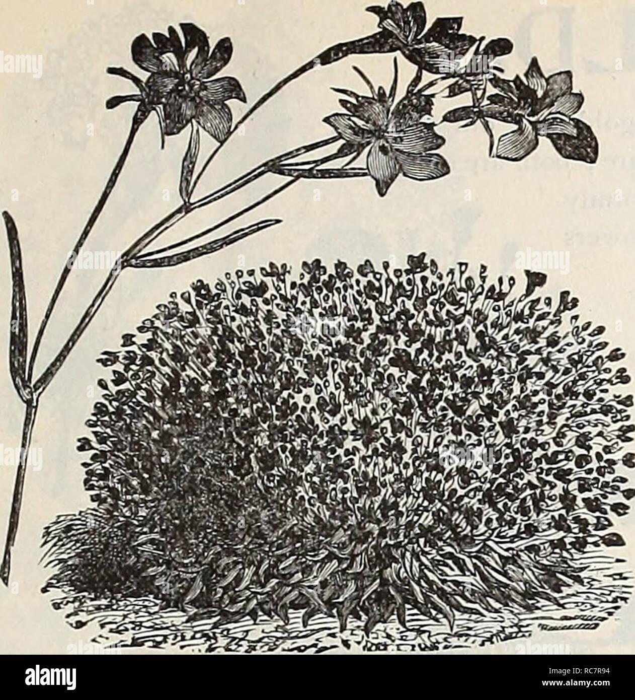 fleurs graines les lobélies graines de Lobelia  en mélange cardinales