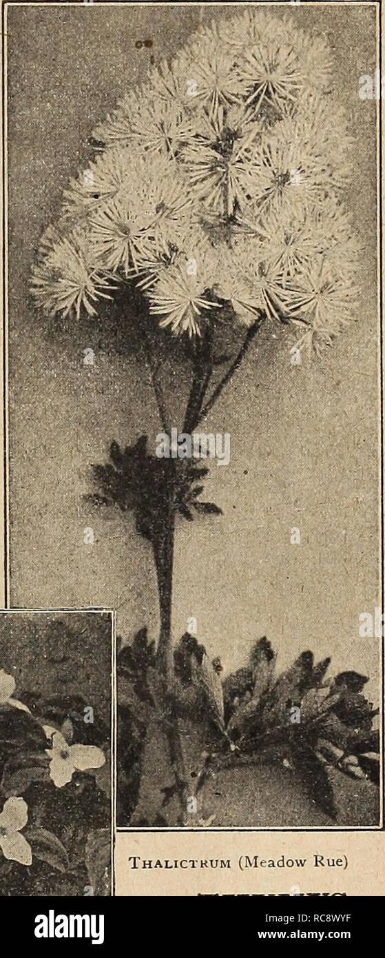 50 graines Lysianthus-suworowi