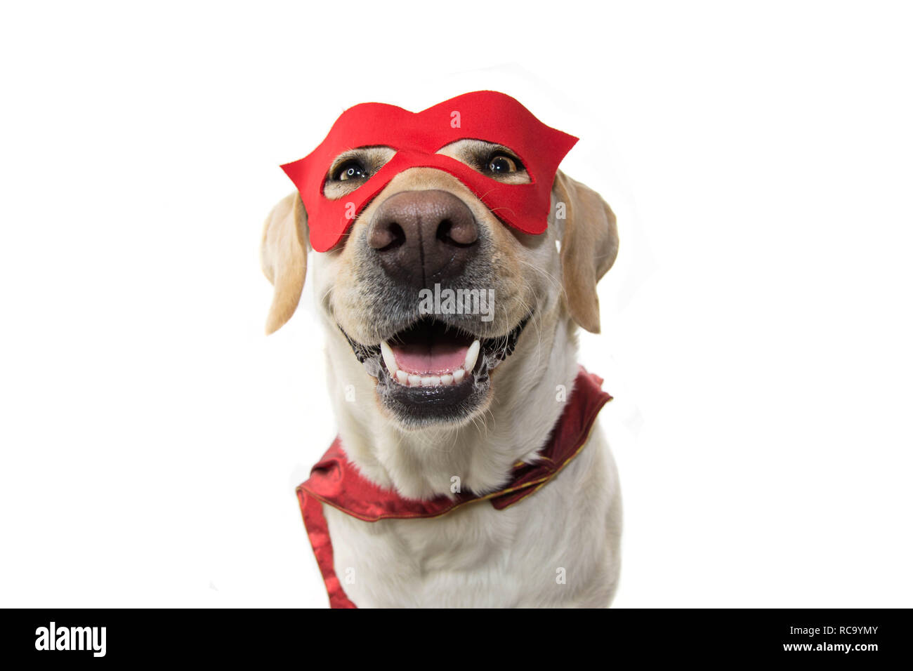 Costume De Super Héros De Chien Labrador Close Up Portant Un Masque