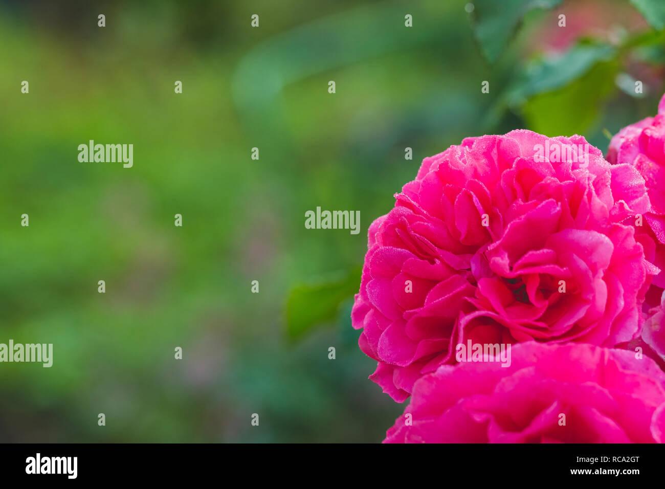 Bush Descalade Rose Roses Dans Un Jardinroses Dans Le Jardin Sont