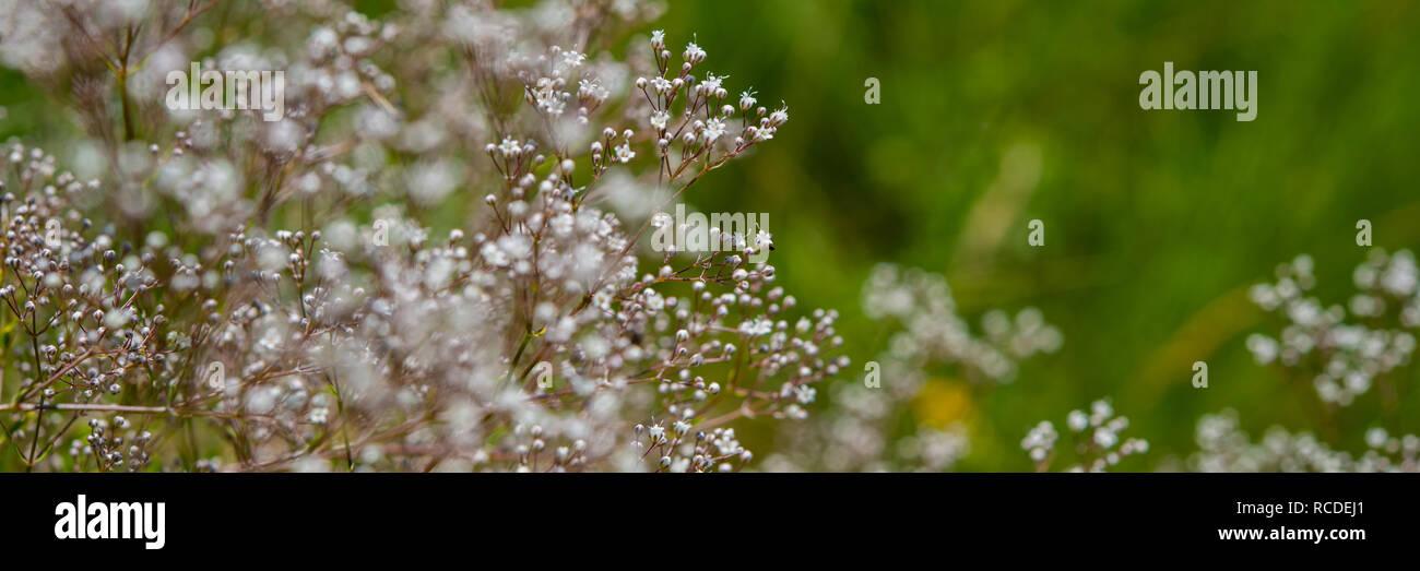 Petites fleurs blanches sauvages dans le pré. La saison du printemps. Bannière pour la conception. Photo Stock