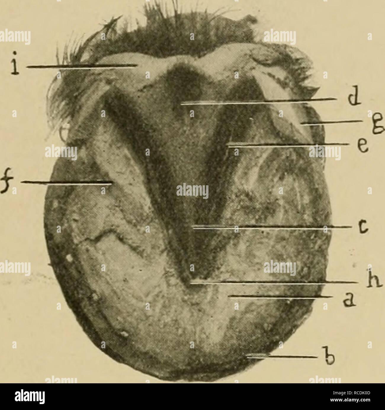 . Les maladies du pied du cheval. Sabots; chevaux. Anatomie RÉGIONALE 41 toe-sera vu une petite crête en forme de un, qui est une continuation directe de la même importance en forme avant mentionné sur la face interne du mur. Ce Fleming a qualifié la toe-séjour, à partir d'une idée qu'elle sert à maintenir la position de l'os pedis. L'ensemble de la face supérieure de la semelle est considérée avec de nombreux cov,crevaisons fine qui reçoivent les papillse sensibles de l'unique. La face inférieure est concave, plus ou moins selon les circonstances, sa partie la plus profonde d'être au point de la grenouille. À partir de la pente thi Photo Stock