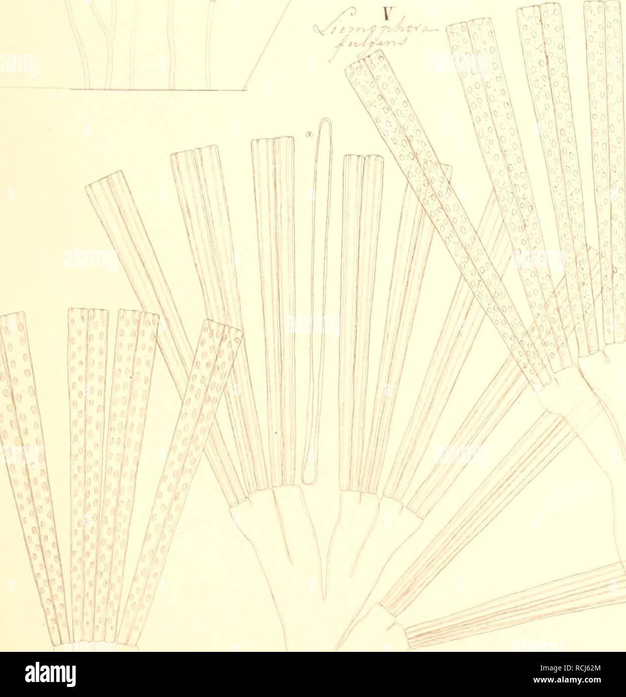. Kieselschaligen Bacillarien Diatomeen oder die. J,J. III IV . Veuillez noter que ces images sont extraites de la page numérisée des images qui peuvent avoir été retouchées numériquement pour plus de lisibilité - coloration et l'aspect de ces illustrations ne peut pas parfaitement ressembler à l'œuvre originale.. Kützing, Friedrich Traugott, 1807-1893. Nordhausen, zu finden bei W. Köhne Banque D'Images