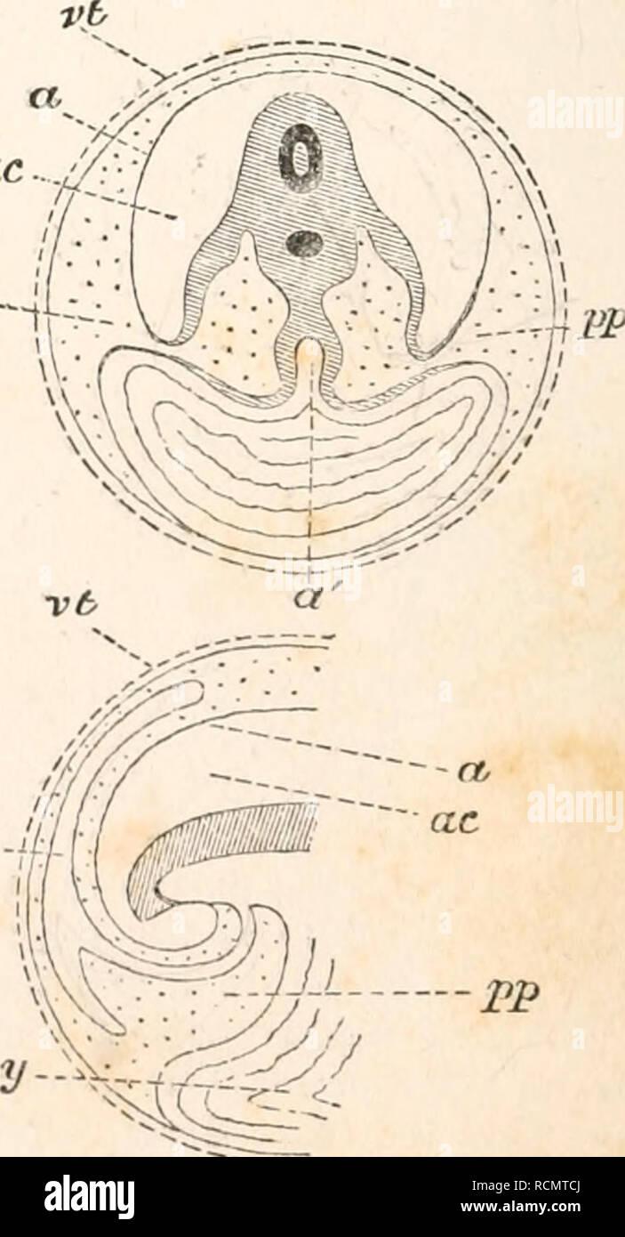 . Les éléments d'embryologie. Poulets -- les embryons. - J?p JBP AC-4U-J al-.-'&Lt;. Je K. Veuillez noter que ces images sont extraites de la page numérisée des images qui peuvent avoir été retouchées numériquement pour plus de lisibilité - coloration et l'aspect de ces illustrations ne peut pas parfaitement ressembler à l'œuvre originale.. Foster, M. (Michael), Sir, 1836-1907; Balfour, Francis M. (Francis Maitland), 1851-1882. Londres, Macmillan et co. Photo Stock