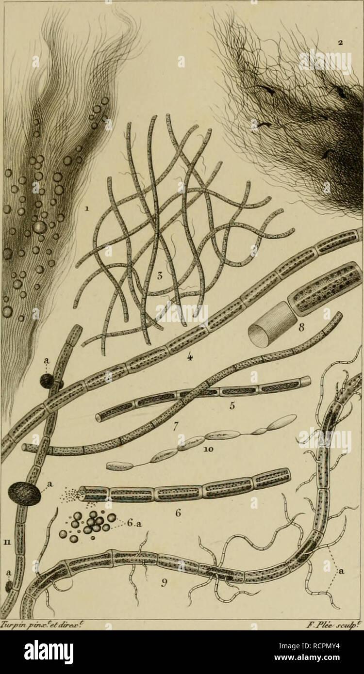""". Dictionnaire des sciences naturelles [ressource électronique]: dans lequel on traite méthodiquement des différens êtres de la nature, considérés soit en eux-mêmes, d'après l'état actuel de nos connoissances, soit relativement à l'utilité qu'en peuvent retirer la médecine, l'agriculture, le commerce et les artes. Suivi d'une biographie des plus célèbres naturalistes .. L'histoire naturelle. VESICVUNES. BOTVMQllK Arthro di e e S./je?,Â""""/^Â""""^. Des CHANTRAIVSIK inusseaiix. CHANTRANSIA^vWx iVs&Lt; J/)f .1 Ã""""?ri/¨^à rua rn j'^^/ari:. /. Iùi ^.J//i4- (nuancée. 3 .^^t ù/ne/j'^^ une ue/ e/n/fS/e à Banque D'Images"""