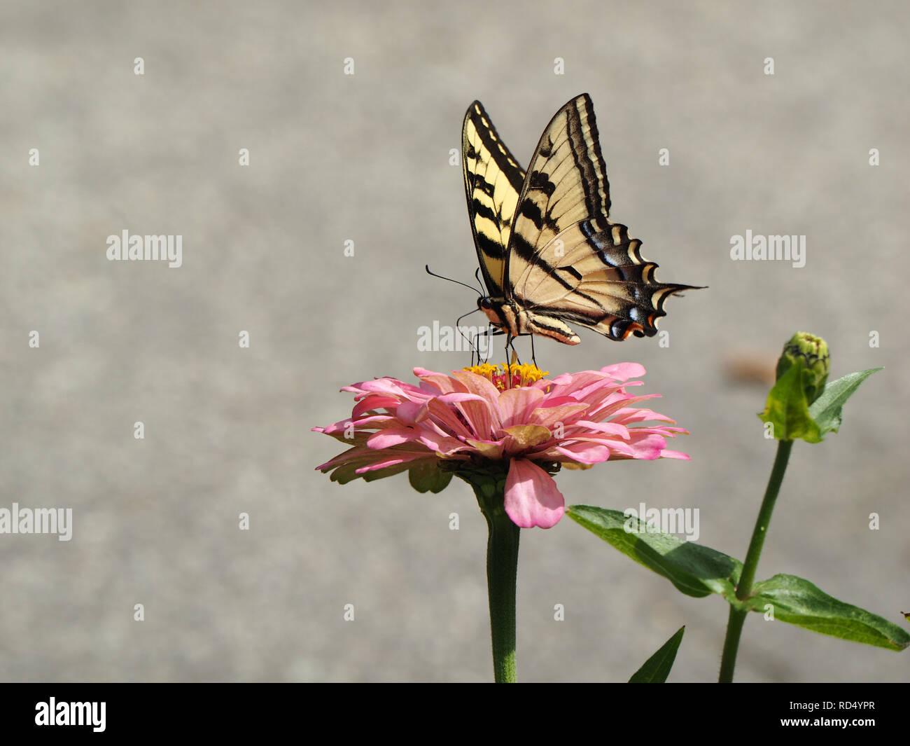 Joli papillon noir et jaune sur une fleur rose Banque D'Images