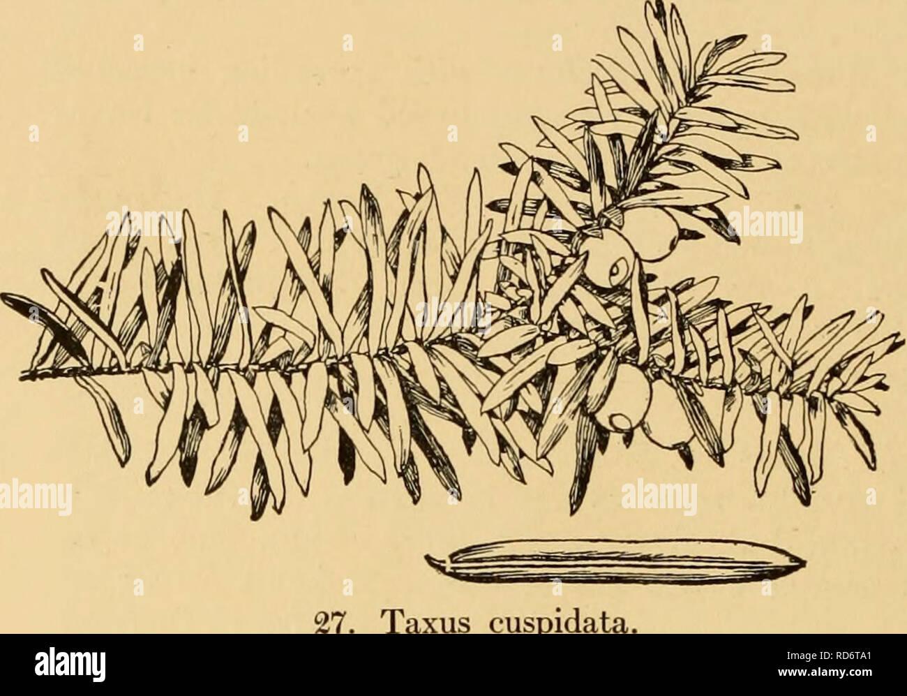 . Les conifères cultivés; un manuel de la plus importante de conifères et arbres à feuilles caduques plantés pour l'ornement dans les États-Unis et le Canada. Les conifères; les conifères. 188 Les conifères cultivés. Taxus cuspidata. légèrement à angle 2 et légèrement comprimé, avec hile orbiculaires. Le centre de la Chine. en 1908 à l'Arnold Arboretum. Hardy aussi loin au nord que le Massachusetts uniquement dans des endroits abrités. Les plantes en culture sont encore trop jeunes pour permettre une opinion à l'égard de la valeur de cet ornement yew; son feuillage est de couleur plus claire que celle des espèces suivantes; dans son nativ Banque D'Images