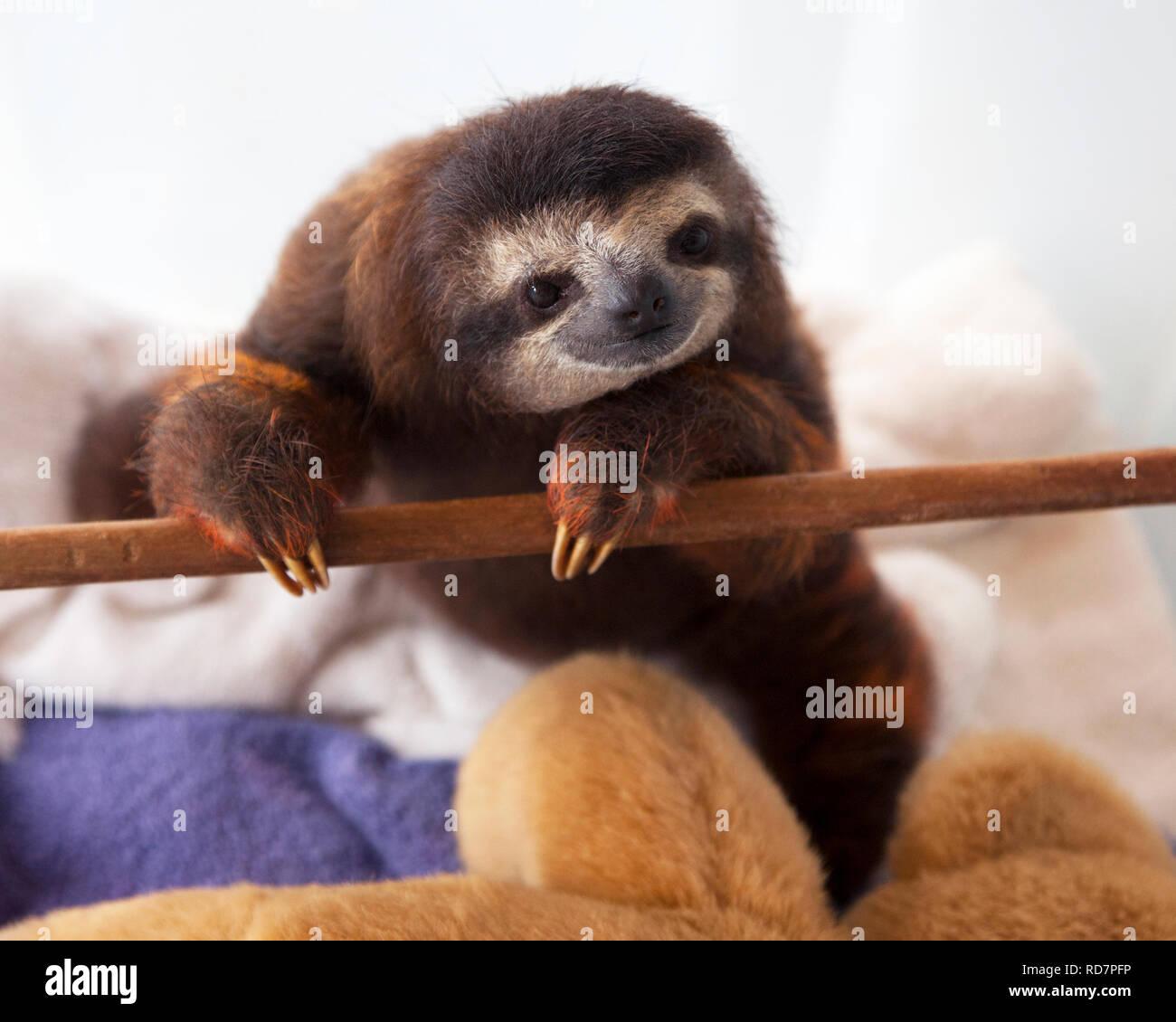 Baby brown-throated trois-toed sloth (Bradypus variegatus) pendant la lecture du temps dans une pépinière à sloth sanctuary Banque D'Images