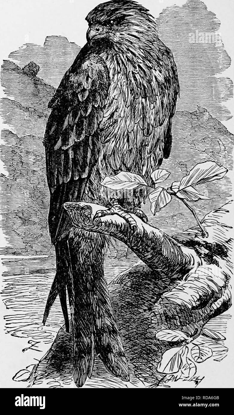 L histoire naturelle populaire . Zoologie. 244 LE BALBUZARD, lorsqu il . e6572b99b23