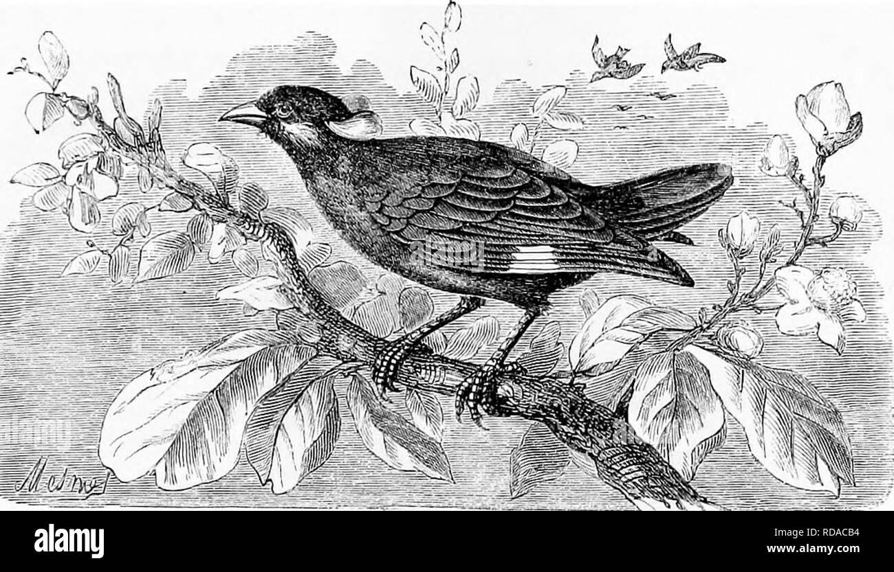 """. Les reptiles et les oiseaux. Un compte rendu populaire de l'émission de diverses ordonnances; avec une description des habitudes alimentaires et de l'économie des plus intéressants. Oiseaux, Reptiles. L'KOSE-OOLOUEED. OUZEL 555 l'île de Bourbon fut à un moment donné donc -infestés avec des sauterelles qu'il menaçait de devenir inhabitables. L'idée était entrer figurant d'instaurer certains Minos, et ces oiseaux multiplié si vite que dans quelques années, les parasites ont disparu. Malheureusement, les services de l'hôtel Minos devait être payé pour beaucoup, car ils ont montré un penchant pour les fruits, et fait de grands ravages parmi les cerises, mûriers, &c. """"Wh Photo Stock"""
