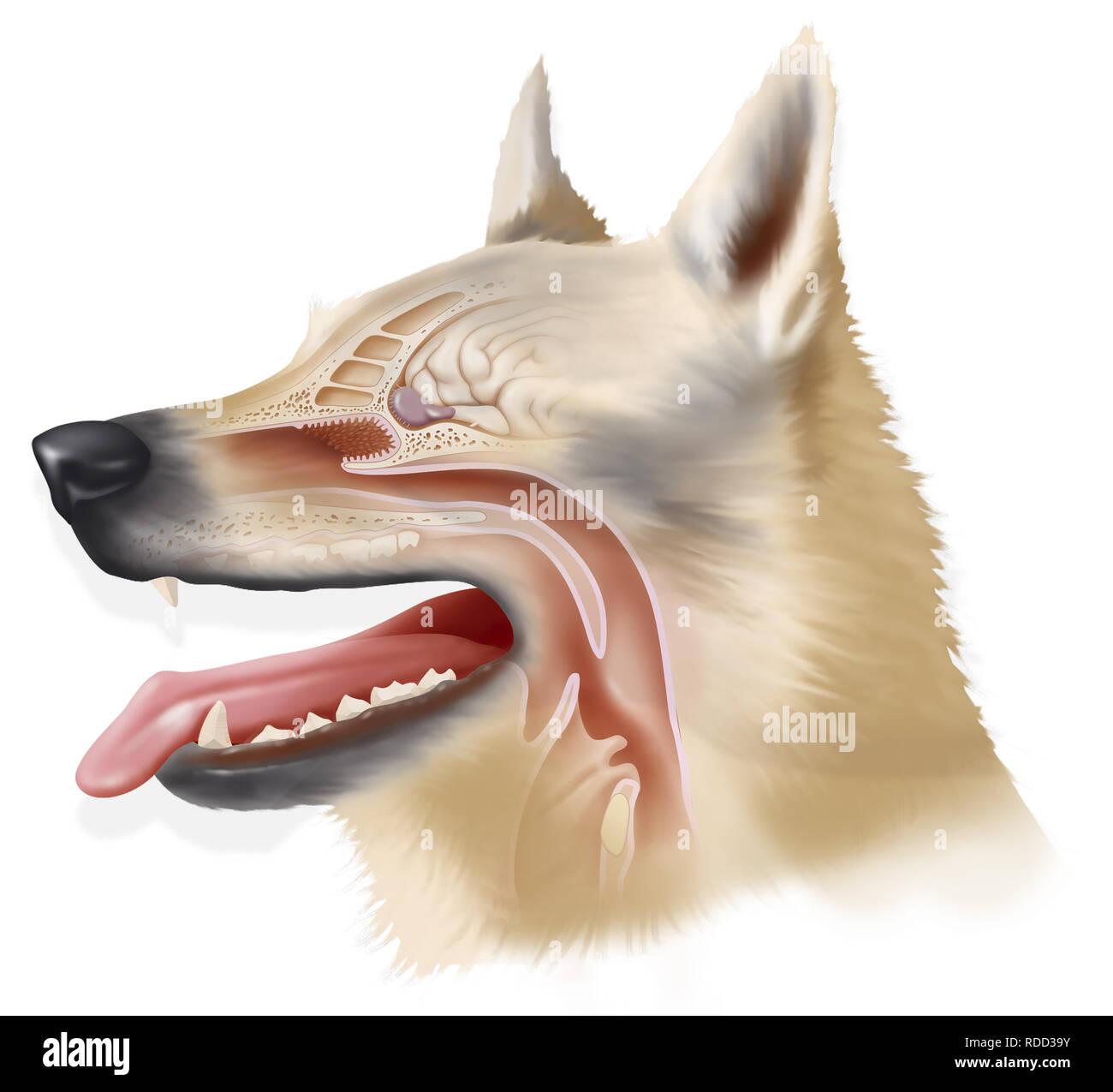 Illustration d'un dog's sens de l'odorat, ses récepteurs et le bulbe olfactif qui lui permet de détecter les particules odorantes en très petites quantités. Un d Banque D'Images