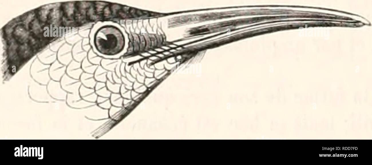 """. Encyclopédie d'histoire naturelle; ou, Traité complet de cette science d'après les travaux des naturalistes les plus éminents de tous les pays et de toutes les époques: Buffon, Daubenton, Lacépède, G. Cuvier, F. Cuvier, Geoffroy Saint-Hilaire, Latreille, de Jussieu, Brongniart, etc. etc. L'histoire naturelle. Kij.'. 78. Raiiipliocincle â varié. a""""- GENRE. - TATARÃ. TATARE. (Leçon.) CAIiACTÃRKS GÃNÃRIQUES. (Le bre à longueur de En télé, cjrcle nrcle firnihiellement h, courbée h partir de en base jusqu'il à pointe, ipii est éelninciée. comprimé sur les eÃ""""tes, minii de iiueUju Photo Stock"""