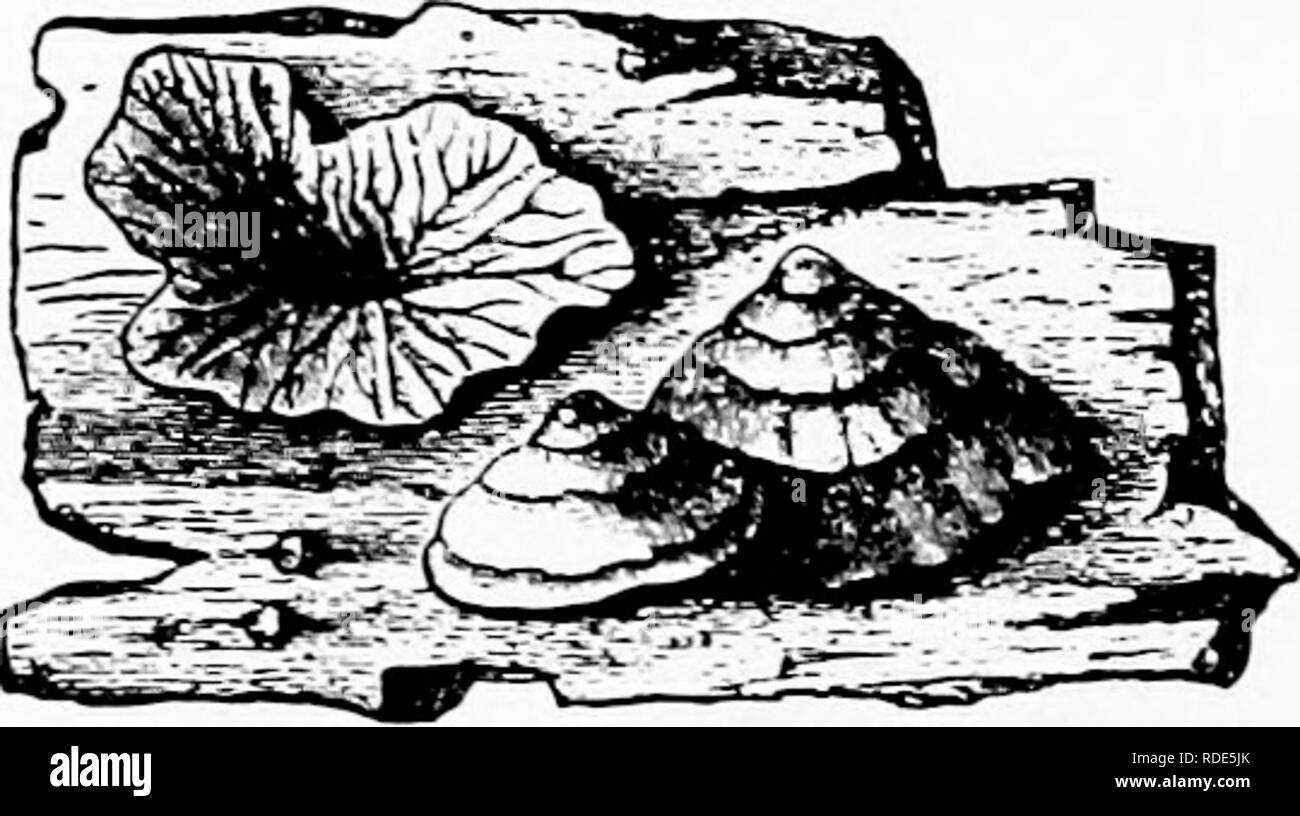 . Les champignons qui causent les maladies des plantes . Les maladies des plantes, les champignons. Le ITXGI 444 QUI CAUSENT LES MALADIES DES PLANTES Trogia Fries (p. 443) Cap mince, coriace, ou persistantes, membraneuse, sessiles, irrég- ^_____^; ular hyménium de branches y^^^^^;:= 5i|^^^^^ se replie, les branches principalement mar- ginal. Il y a quelques sept espèces. T. faginea. (Schr.) v. ann. S])orophore 2 cm. large, bécher-formé ou irrégulier mar- FiG. 31.5.-Trogia faginea. gined; ou vellow Hemungs orange sans, après. ' ^^ » . °^ . ' Rarelj» avec poils blanchâtres, fane, côtes, concolores; spores dichotomique cylindriques, 4 x 1-1,5 fi, lisse, c Banque D'Images