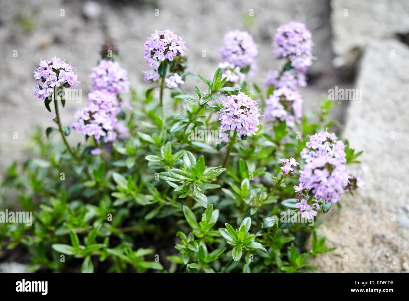 Thym Floraison Pourpre Avec Bush Fleurs En Croissance A L Exterieur