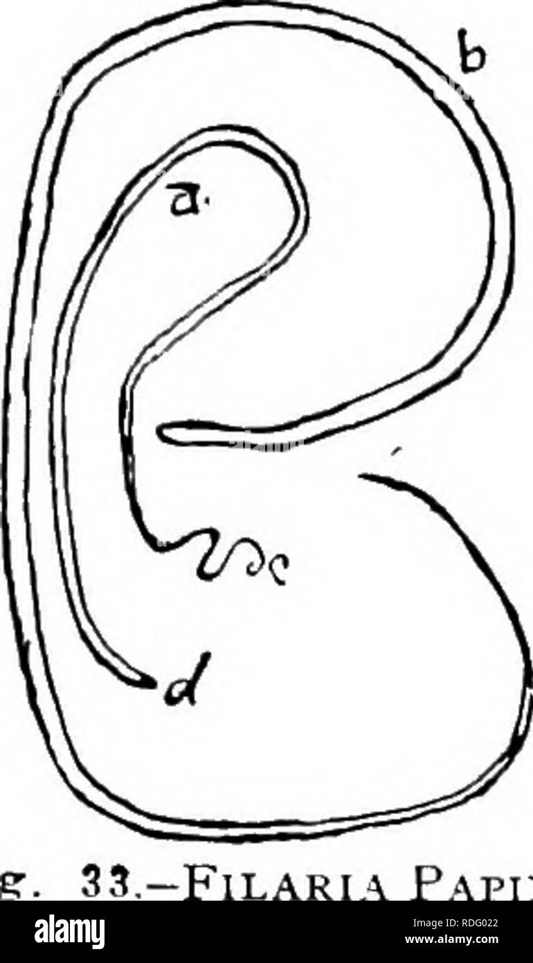 . Des parasites animaux et parasitaires . Les animaux domestiques; médecine vétérinaire. La parasitologie. 95 Fig. Â Des filaires PAFIL- EPS. Des hommes. Spirale de queue femelle mâle. L'extrémité céphalique. Dans âFound Distribuiion.Amer- ica, Asie, Philippines, etc. Description.- âThe corps est long, et de couleur blanche. Il est atténué aux deux extrémités. La bouche- sont deux anneaux, chacun fourni avec quatre papilles. La queue du mâle est enroulé dans une spirale; la queue de la fe- homme est droit ou légèrement incurvé. Le mâle est de deux à trois pouces de long.la femelle; trois à quatre pouces; le f Photo Stock