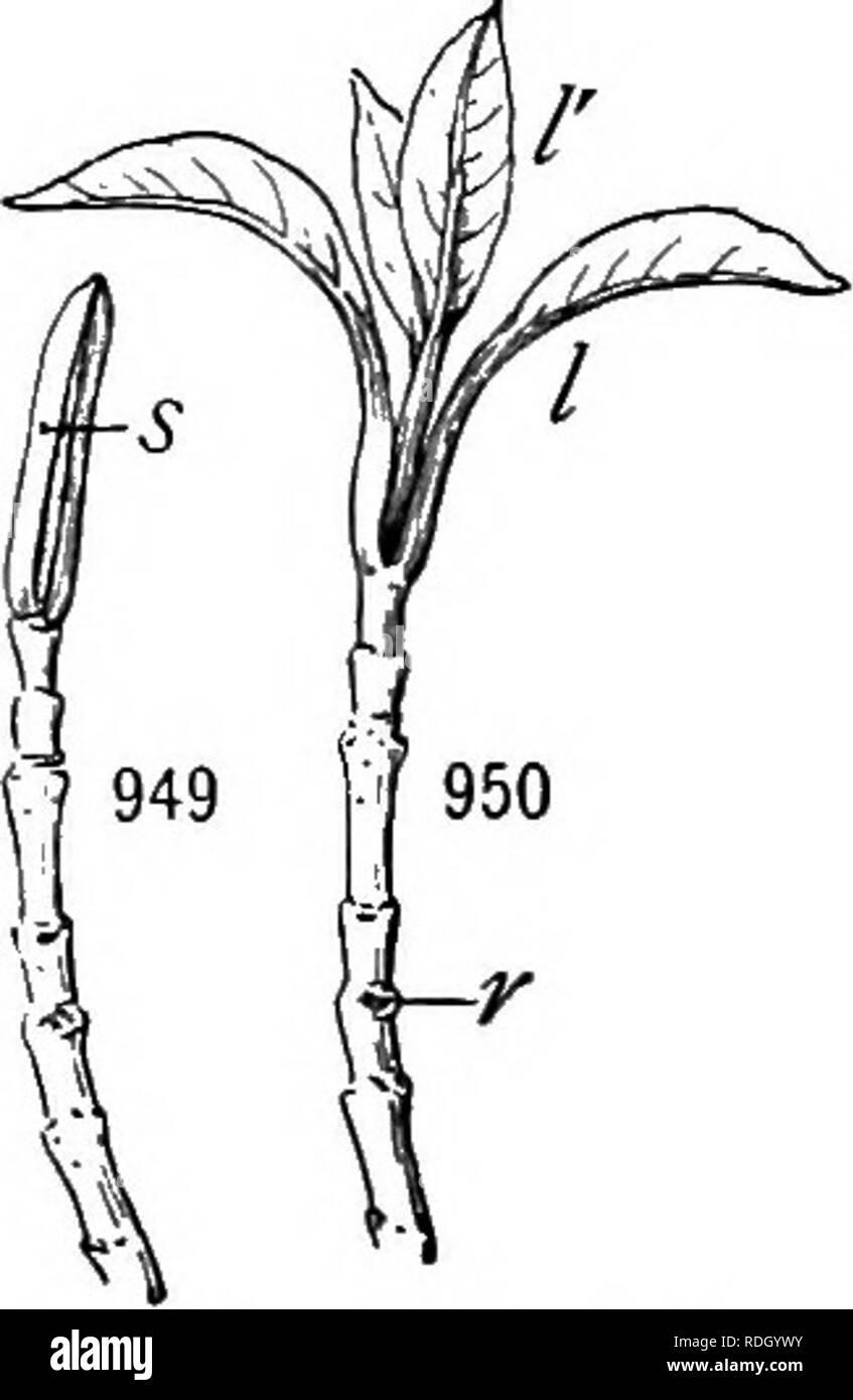 . Un manuel de botanique pour les collèges et universités ... La botanique. 644 l'écologie. Comme c'est illustré par le fait que certains de l'intérieur de la balance penche d'un minute limbe (fig. 1160). Lorsque ces d'un bourgeon germe, les échelles extra-drop off, alors que les échelles intérieure assumer progressivement de plus en plus les caractères des feuilles, en couleur et de la persistance, ainsi que dans sa forme et sa taille. Dans Vibtirnum Lentago le bourgeon est protégé par deux grandes écailles avec de longs conseils atténué, qui au printemps de l'agrandir à la fin en petites lames vertes (figs. 949, 950). Non seulement ces faits montrent clairement l'essentiel de mo Photo Stock