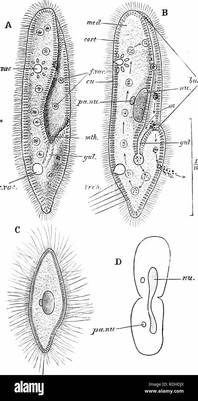 . Un manuel de zoologie. . Fig. 18. - Paramoecium caudatum. Un animal vivant, l'IHE de aspect ventrale; B, la même en coupe optique: la flèche indique le cours pris par les particules; C, un spécimen qui s'est acquittée de son trichocysts; D, schéma de division binaire; buc. gr, groove buccale; cort, cortex; cu, cuticule: c. vca, vacuole contractile; f. v vacuole digestive; Gul, gosier; med, medulla; nu, meganucleus; pa. nu, micro-noyau; trch, trichocysts. (À partir de la biologie de Parker.') 47. Veuillez noter que ces images sont extraites de la page numérisée des images qui peuvent avoir été retouchées numériquement pour r Banque D'Images