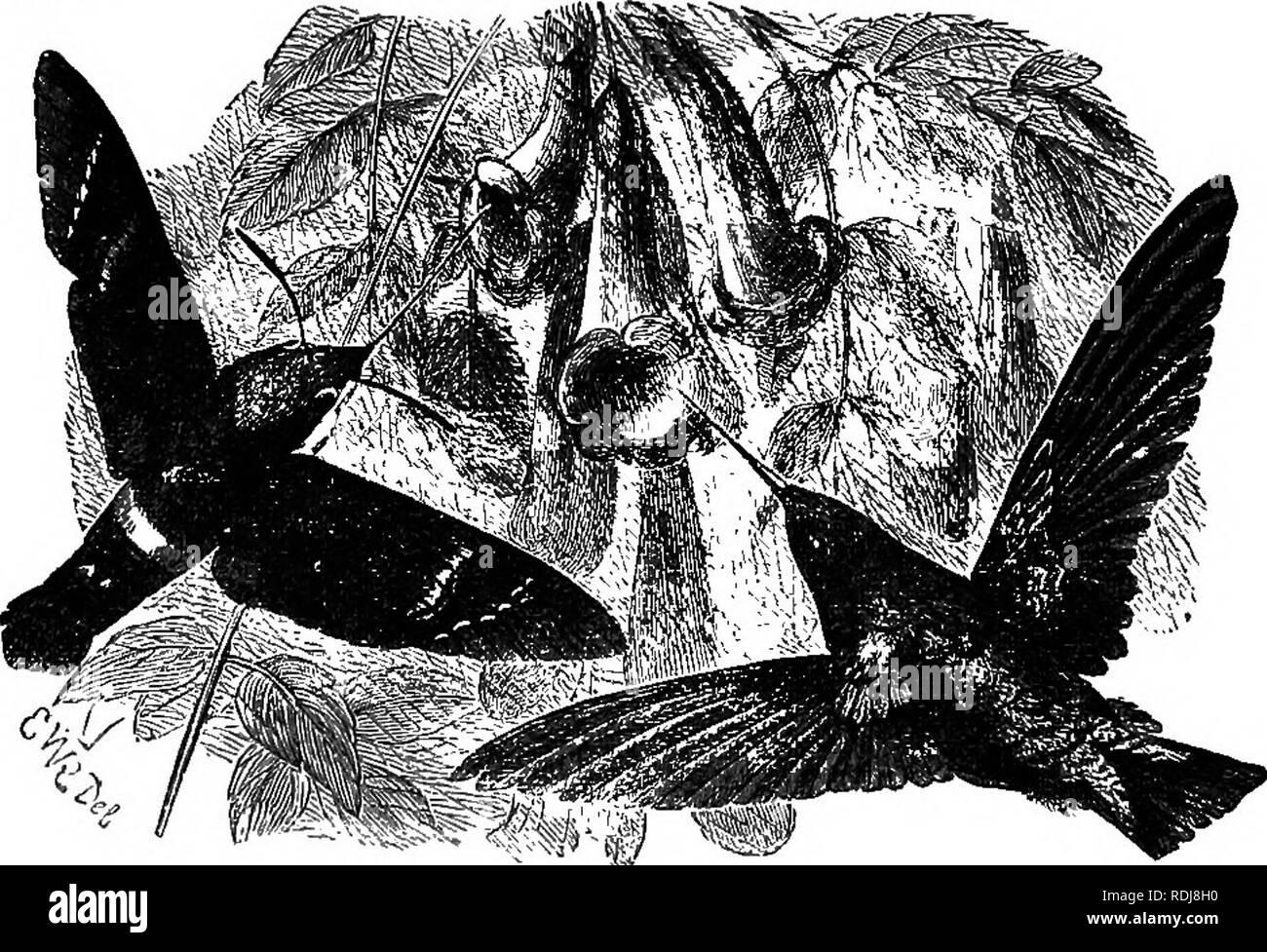 . L'étude de la vie animale. Zoologie. Le SfUcfy S8 de la vie animale Les conditions constantes de mimétisme sont clairement et laconiquement résumé par Wallace. Ils sont: -^ 1. Que l'initiative se trouvent dans la même zone, et d'occuper la même place, comme l'ont imité. 2. Que les imitateurs sont toujours les plus sans défense. 3. Que les imitateurs sont toujours moins nombreux dans les individus. 4. Que les imitateurs diffèrent de la plupart ot leurs alliés.. Fig. 10.-Humming-bird espèce {Macroglossa titan), et l'oiseau-{Lophomis Gmildii d'oiseaux). (À partir de Bates.) 5. Que l'imitation, mais minute, est externe et v Photo Stock