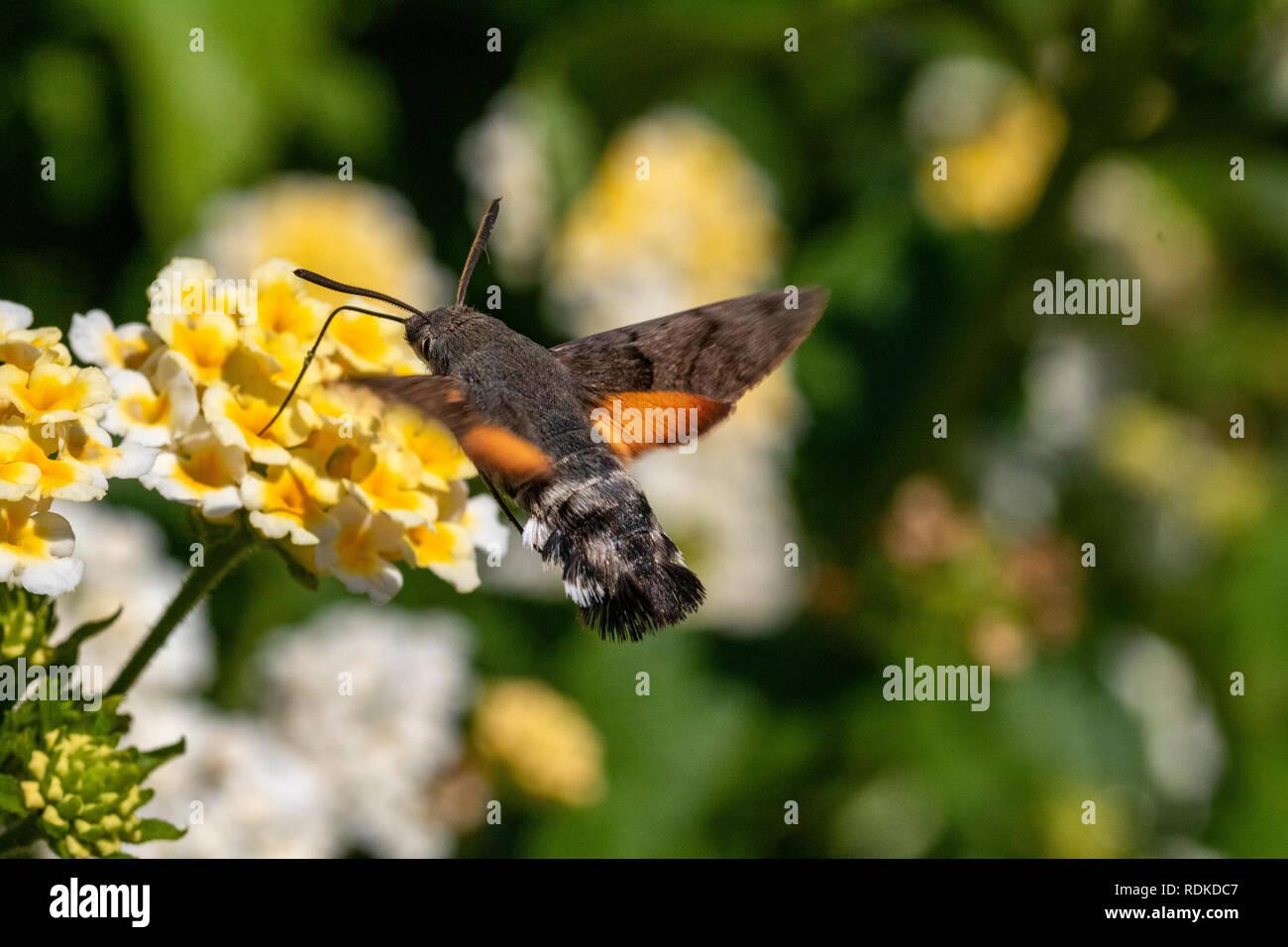 Humming-Bird colorés Hawk Moth (Macroglossum stellatarum) se nourrissant dans un jardin en Sardaigne, Italie, Photo Stock