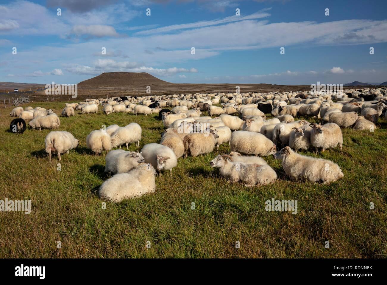L'élevage ovin traditionnel Réttir, et des moutons, fractionnement de Mývatn, Islande Photo Stock