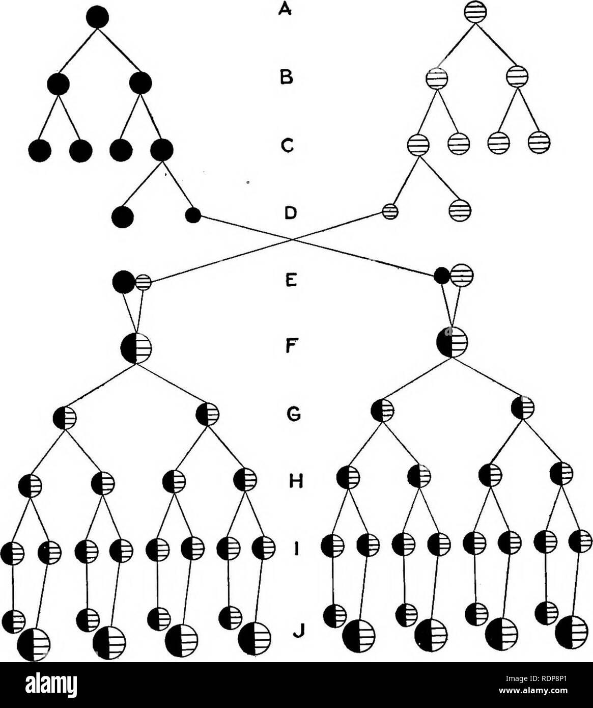 . Le mécanisme de l'hérédité mendélienne. L'hérédité de Mendel; droit; les chromosomes. L'hérédité dans les protozoaires 301 quatre noyaux de l'agrandir pour former, d'autres restent quatre macronoyaux comme de nouveaux noyaux. Alors l'individu se divise deux fois (Fig. 70). La macro-. Fig. 71.-^Diagramme illustrant l'histoire de la formation de micronoyaux dans la conjugaison et de deux autres divisions de Paramoecium. noyaux et des micronoyaux ne divisez pas en ce moment, mais sont répartis également entre les deux premières personnes, et puis à la deuxième division deux rendez-vous. Veuillez noter que ces images sont extraites des images de la page numérisée Banque D'Images