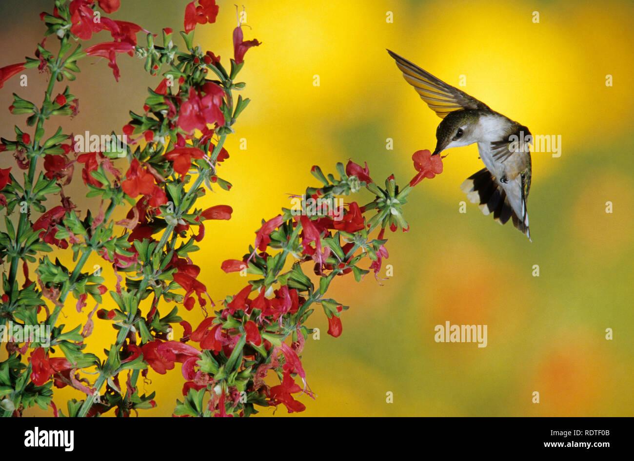 01162-063.19 Colibri à gorge rubis (Archilochus colubris) femelle sur Dame de Salvia Salvia Coccinea (rouge) Shelby Co. IL Photo Stock